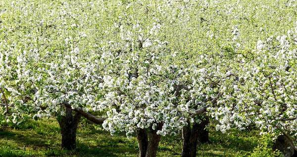 Wall Art - Photograph - Apple Trees In Bloom by Will Borden