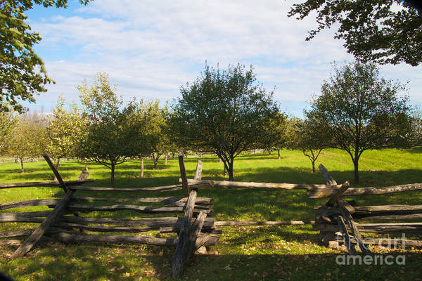Photograph - Apple Trees by William Norton