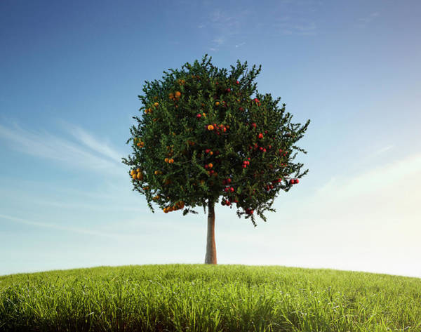 Balance Photograph - Apples And Oranges Growing On Tree by Colin Anderson Productions Pty Ltd
