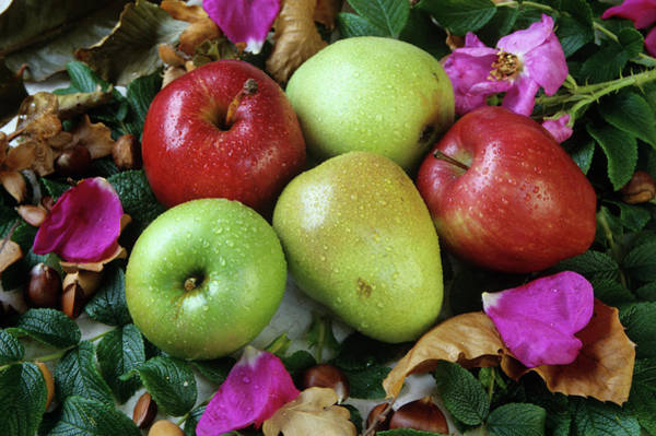 Malus Photograph - Apples And Pears by Ann Pickford/science Photo Library