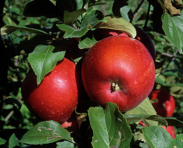Malus Photograph - Apples by Bjorn Svensson/science Photo Library