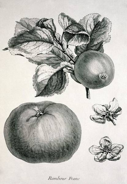 Malus Photograph - Apples by George Bernard/science Photo Library