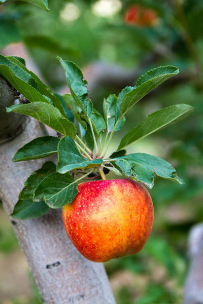 Photograph - Apples Hanging In An Orchard by Teri Virbickis