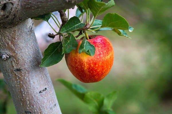 Photograph - Apples Hanging In The Orchard by Teri Virbickis