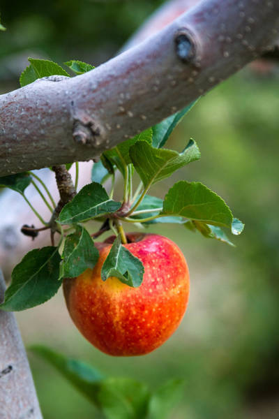 Photograph - Apples Hanging In The Tree by Teri Virbickis