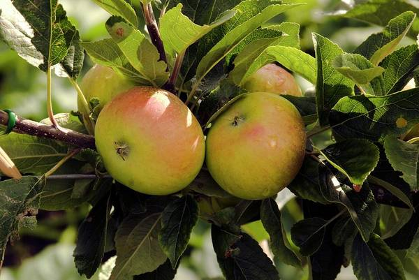 Malus Photograph - Apples (malus Domestica 'discovery') by Adrian Thomas