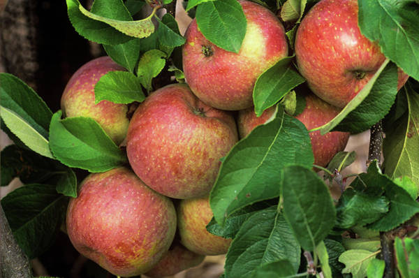 Malus Photograph - Apples (malus Domestica 'fuji') by Anthony Cooper/science Photo Library