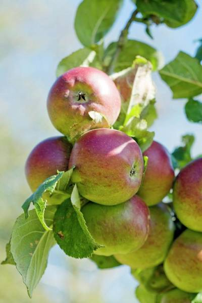 Norfolk Photograph - Apples (malus Domestica 'norfolk Beefing') by Emmeline Watkins/science Photo Library