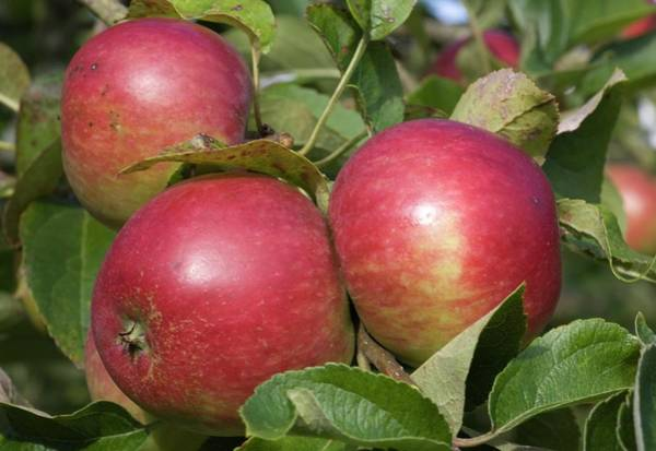 Malus Photograph - Apples On A Tree by Adam Hart-davis/science Photo Library