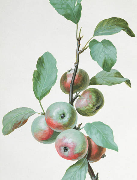 Apple Orchard Painting - Apples by Pierre Joseph Redoute
