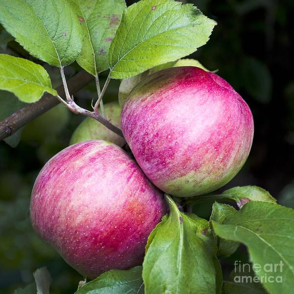 Photograph - 2 Apples On Tree by Steven Ralser