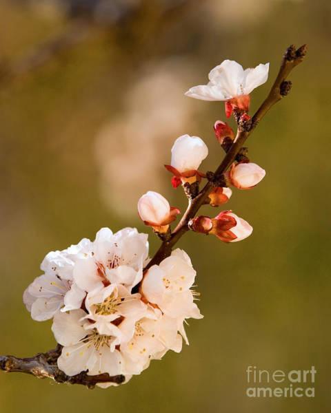 Apricot Blossom At Sunrise Art Print