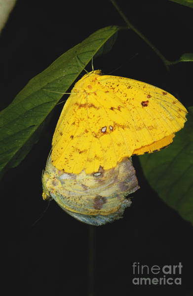 Sulfur Butterfly Wall Art - Photograph - Apricot Sulfur Butterflies by Gregory G. Dimijian, M.D.