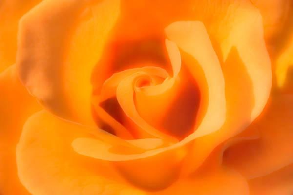 Photograph - Apricot Tea Rose by  Onyonet  Photo Studios