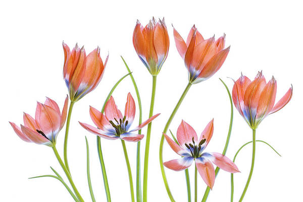 Red Flower Photograph - Apricot Tulips by Mandy Disher