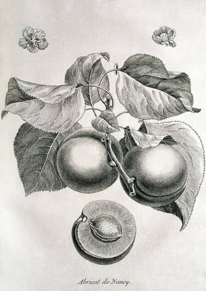 1755 Photograph - Apricots by George Bernard/science Photo Library