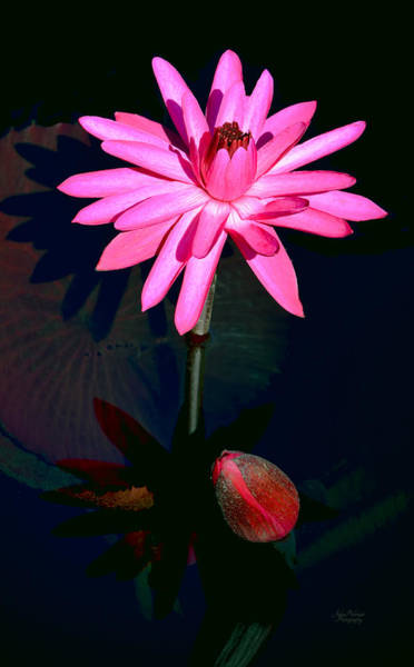 Photograph - Aquatic Bloom In Pink by Julie Palencia