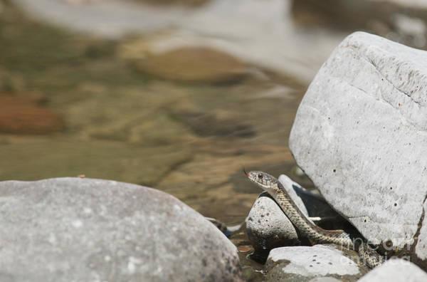Photograph - Aquatic Garter Snake by Dan Suzio