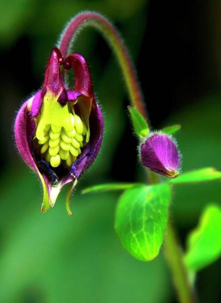 Aquilegia Photograph - Aquilegia Flower Eaten By Pests by Ian Gowland