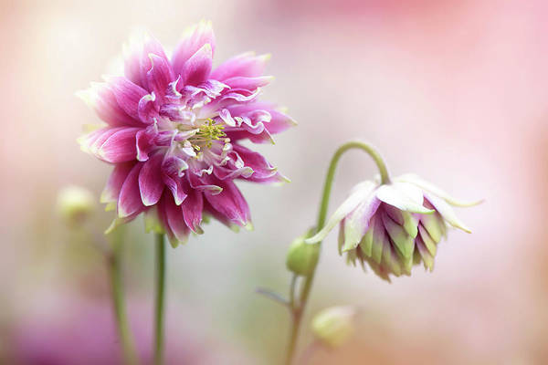 Wall Art - Photograph - Aquilegia Flowers by Jacky Parker