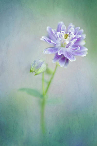 Wall Art - Photograph - Aquilegia by Jacky Parker Photography