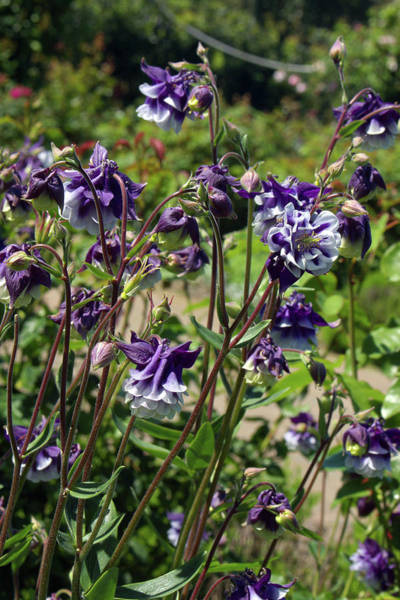 Wall Art - Photograph - Aquilegia Vulgaris 'adelaide Addison' by Neil Joy/science Photo Library