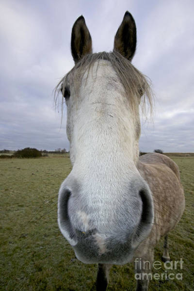 Photograph - Arab Horse by John Cancalosi