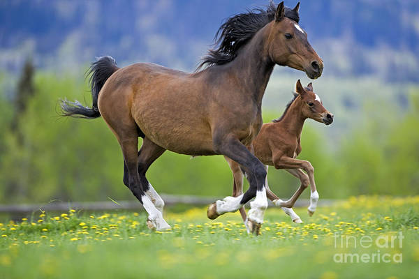 Foal Photograph - Arabian Bay Mare And Foal by Rolf Kopfle
