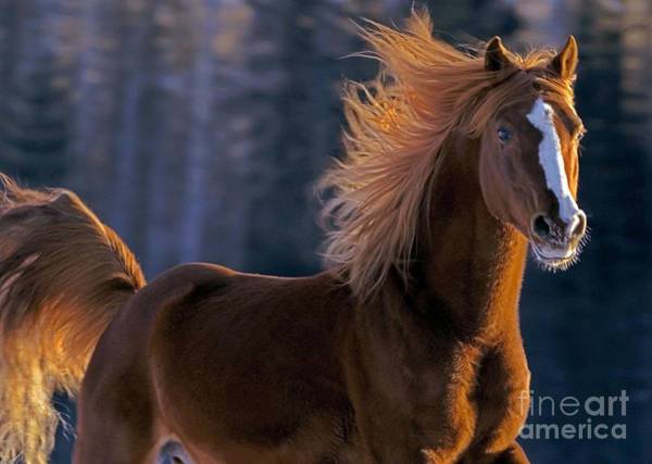 Photograph - Arabian Chestnut Stallion by Rolf Kopfle