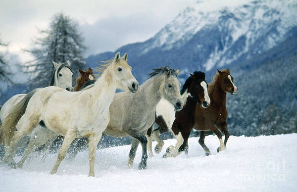 Photograph - Arabian Piebald And Swiss Farm Horses by Hans D Dossenbach