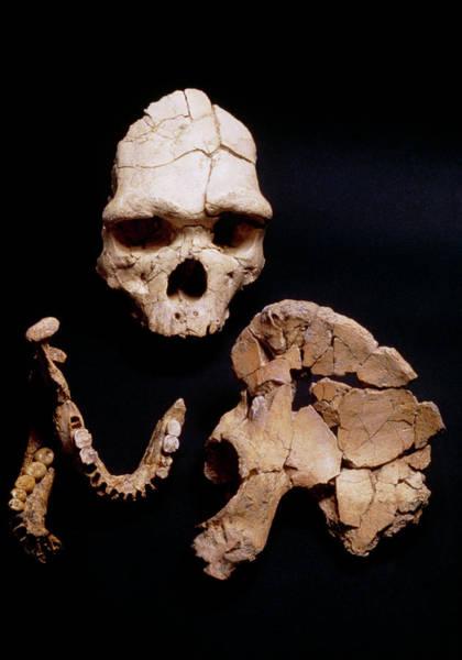 Homo Sapiens Photograph - Arago Man by John Reader/science Photo Library