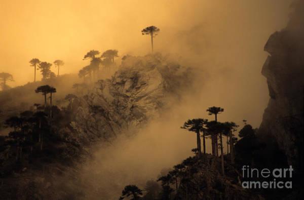 Photograph - Araucaria Dawn Chile by James Brunker