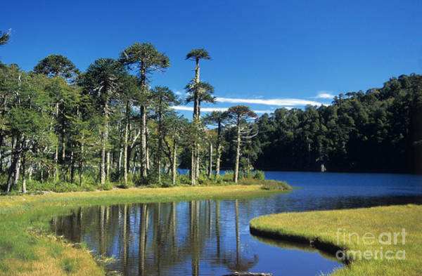 Photograph - Araucaria Forest Chile by James Brunker
