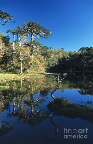 Photograph - Araucaria Reflections In The Chilean Lake District by James Brunker