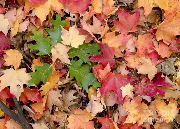 Photograph - Arboretum - Oak by Steven Ralser