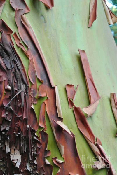 Photograph - Arbutus Bark Peeling by Sharron Cuthbertson