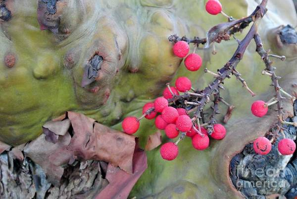 Photograph - Arbutus Berries by Sharron Cuthbertson