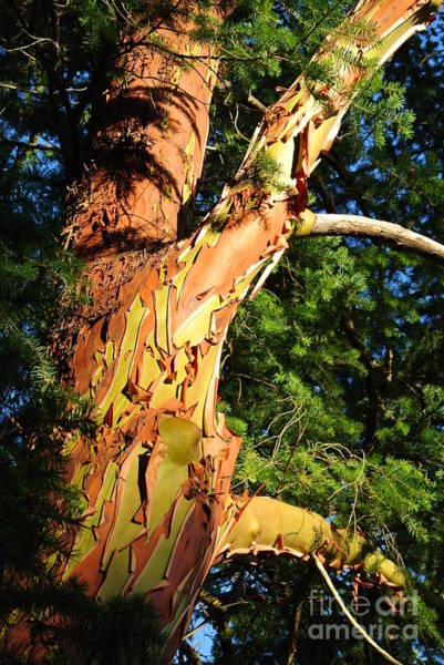 Photograph - Arbutus In Sunlight by Sharron Cuthbertson