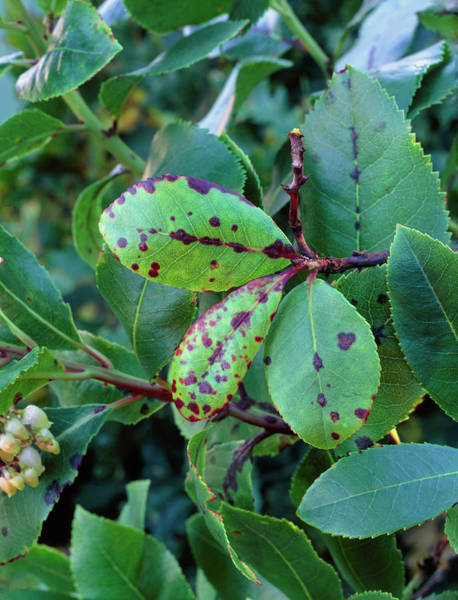 Horticulture Photograph - Arbutus Leaf Spot by Geoff Kidd/science Photo Library