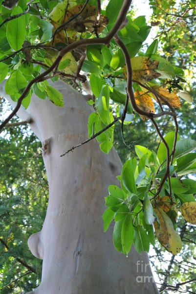 Photograph - Arbutus  by Sharron Cuthbertson