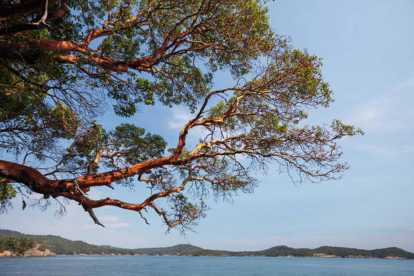 Wall Art - Photograph - Arbutus Tree Hanging Over Pacific Ocean by Christopher Kimmel