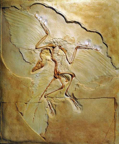 Wall Art - Photograph - Archaeopteryx Fossil by Chris Hellier/science Photo Library