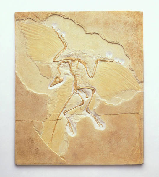 Cut-out Photograph - Archaeopteryx Fossil by Dorling Kindersley/uig