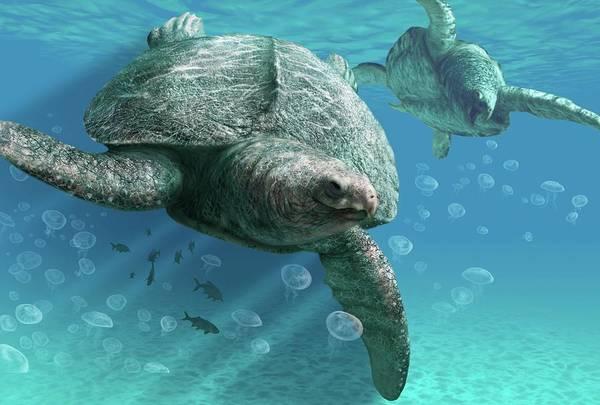 Wall Art - Photograph - Archelon Prehistoric Turtle by Jaime Chirinos/science Photo Library