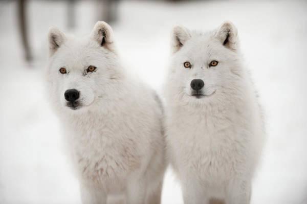 Arctic Wolf Photograph - Arctic Duet by Pndtphoto