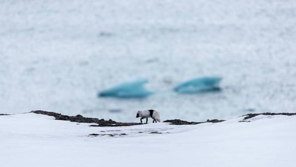 Molting Wall Art - Photograph - Arctic Fox Alopex Lagopus Walking by Raffi Maghdessian