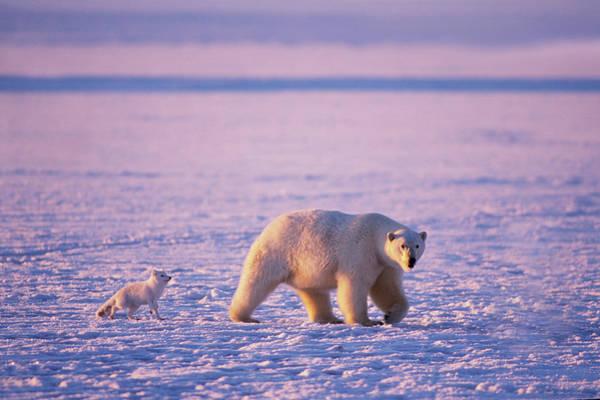 Big Bear Photograph - Arctic Fox Follows A Polar Bear by Steven J. Kazlowski / GHG