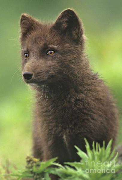 Photograph - Arctic Fox Portrait Alaska Wildlife by Dave Welling