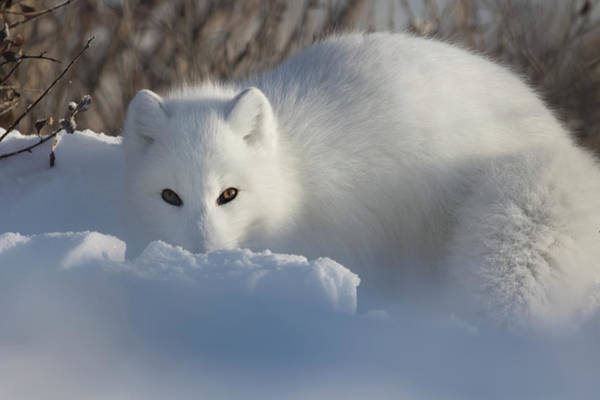Wall Art - Photograph - Arctic Fox  Vulpes Lagopus  Staring by Robert Postma