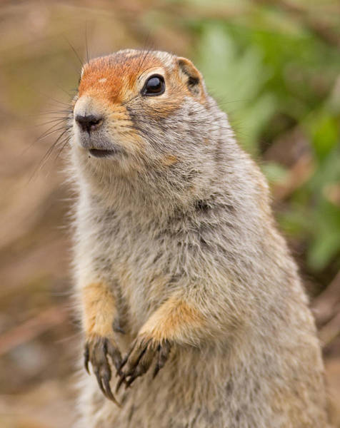 Photograph - Arctic Ground Squirrel Close-up by Brian Magnier